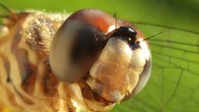 Micro libélula Imagens de Stock
