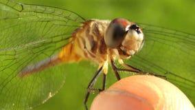 Micro libélula Fotos de Stock