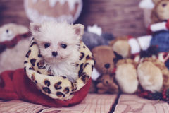 Micro maltese christmas Royalty Free Stock Photos