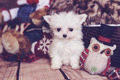 Micro maltese puppy holiday Royalty Free Stock Images