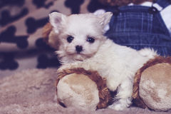 Micro maltese puppy with teddy bear Royalty Free Stock Images