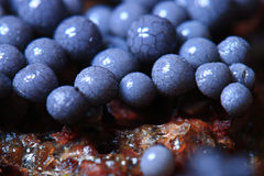 Micro-organism fungus. Blue micro-organism fungus mold structure Royalty Free Stock Images
