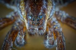 Micro Photo of Brown Jumping Spider royalty free stock photography
