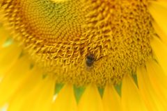 Micro Photo of Honey Bee of Yellow Sunflower Flower royalty free stock photos