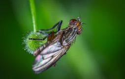 Micro Photography of Black Common House Fly Royalty Free Stock Image