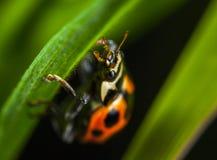 Micro Photography of Orange Ladybug Perching on Leaf Stock Photos