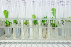 Micro plants of cloned oak with in test tubes with nutrient medium. Micro propagation technology in vitro.  Royalty Free Stock Photo