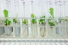 Micro plants of cloned oak with in test tubes with nutrient medium. Micro propagation technology in vitro