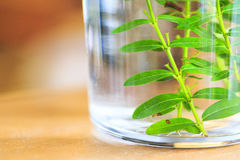 Micro propagated plant. In glass bottle Royalty Free Stock Photo