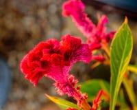 Micro rouge de crête Image libre de droits