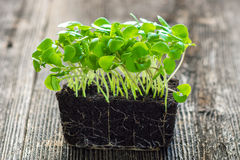 Micro salada do bebê Fotografia de Stock Royalty Free