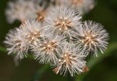 Micro semente para plantar Imagem de Stock