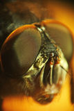 Micro shot of fly. Head Royalty Free Stock Photos