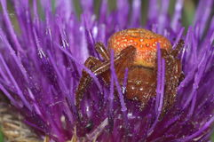 Micro spider. Verry small spider on a violet flower Royalty Free Stock Photos
