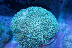 Micro Torch coral. Green mini torch coral euphyliia glabrescens Royalty Free Stock Image