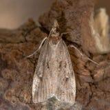 Micro- van Eudoniapallida mot Royalty-vrije Stock Afbeelding