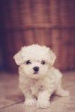 Micro verticale maltese del cucciolo Fotografie Stock
