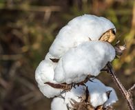 Cotton Close up royalty free stock image