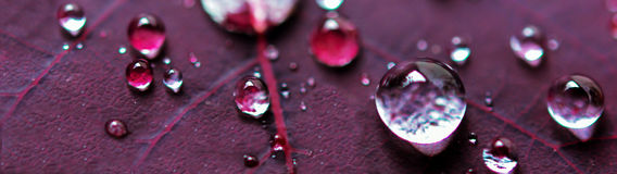Micro Water Drops on Purple Plant Leaf Stock Images