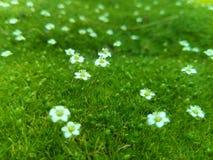 Micro World. Small white flowers (sagina Royalty Free Stock Photography