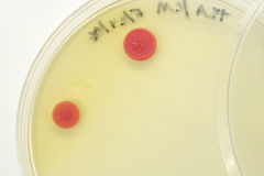 Microbial growth. On a nutrient agar petri plate Royalty Free Stock Photography