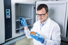 Microbiologist hand cultivating a petri dish whit inoculation loops, beside autoclave. Royalty Free Stock Image