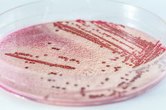 Microbiology Royalty Free Stock Photography