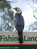 Microcarbo melanoleucos (Little Pied Cormorant) stock images