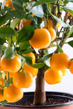 Microcarpa de Citrofortunella - árvore de Calamondin imagem de stock royalty free