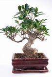 Microcarpa de Ficus Images libres de droits