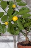 Microcarpa frutífero de Citrofortunella do kalamodin fotografia de stock