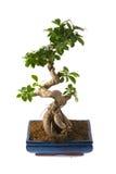 Microcarpa van ficussen (bonsai) Royalty-vrije Stock Foto