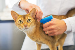 Microchip implant by cat. Microchip implant for cat by Veterinarian royalty free stock photos