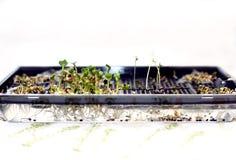 microcline的耕种在种子工作的  库存照片