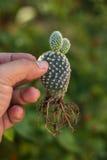Microdasys e raiz do Opuntia Foto de Stock