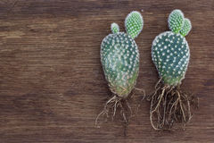 Microdasys y raíz de la Opuntia Imagen de archivo libre de regalías