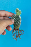 Microdasys y raíz de la Opuntia imagen de archivo