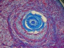 Microfotografía del microscopio óptico del ovario de los gatos Foto de archivo