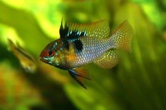 Microgeophagus ramirezi Royalty Free Stock Image
