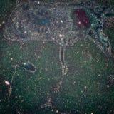 Micrográfo del tejido del hígado Imagen de archivo libre de regalías