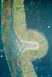 Micrograaf van maagweefsel Stock Foto
