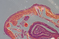 Micrograph earthworm crosscutting Royalty Free Stock Image