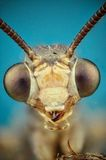 Micrograph of the head of a ant-lion Stock Image
