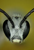 Micrograph of the head of a bee Stock Photos