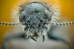 Micrograph of the head of a beetle Royalty Free Stock Photo