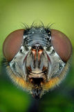 Micrograph of the head of a fly Royalty Free Stock Photo