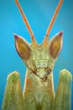 Micrograph of the head of a praying mantis Royalty Free Stock Images