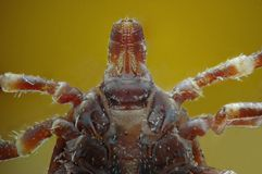 Micrograph of the head of a tick Stock Image