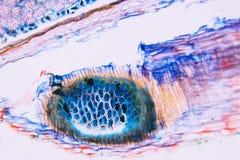 Micrograph microscopic Royalty Free Stock Photo