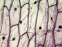 Micrograph of onion epidermal cells Stock Images